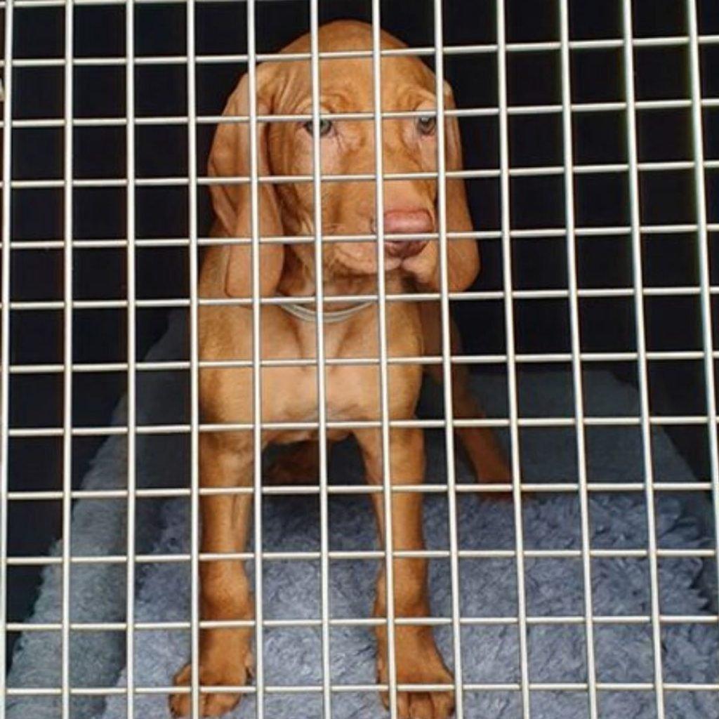 Vizsla Puppy-aReggie-in-a-crate