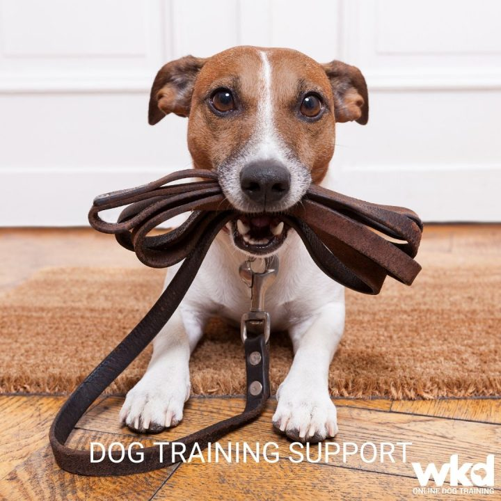 WKD-DOG-TRAINING-SUPPORT-IMAGE-OF-JACK-RUSSEL-HOLDING-A-LEAD